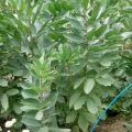 Faba bean plant (Vicia faba)