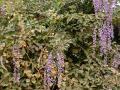 Cratylia (Cratylia argentea), habit, Brazil