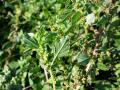 Wild amaranth (Amaranthus graecizans), inflorescence