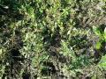 Wild amaranth (Amaranthus graecizans), habit