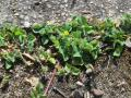 Black medic (Medicago lupulina), habit