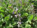 Calopo (Calopogonium caeruleum), habit