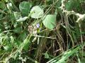 Calopo (Calopogonium mucunoides), habit, Kolo Fuma, Congo
