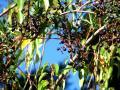 Cissus (Cissus striata), fruits (grapes)