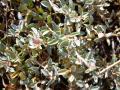 Creeping saltbush (Atriplex semibaccata), foliage, Hawaii