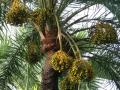 Date palm (Phoenix dactylifera L.) fruits