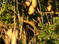 Kigelia africanaSausage tree