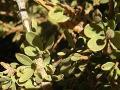 Atil (Maerua crassifolia Forssk.) leaves, Sahara, Mauritania