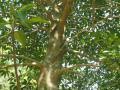 Mango tree, North Vietnam
