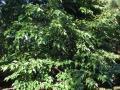 White mulberry (Morus alba), habit
