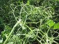 Pea leaves and vines