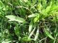 Ribwort plantain (Plantago lanceolata), habit, Spain