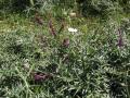 Purple vetch (Vicia benghalensis), habit