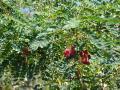 Agati (Sesbania grandiflora), Hawaii