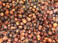Sorghum grain, red variety