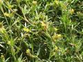 Stylo (Stylosanthes guianensis)