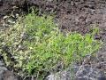 Ahuhu (Tephrosia purpurea) habit