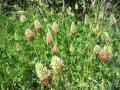 Crimson clover (Trifolium incarnatum), habit, Tarerach, France