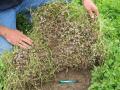 Subclover (Trifolium subterraneum), underground burr development