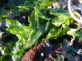 Green algae, Ulva lactuca, Neelte Jans, Netherlands