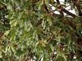 Sheanut tree, Burkina Faso