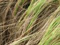 Weeping love grass (Eragrostis curvula)